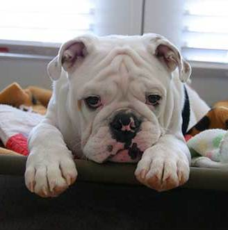 sad-face-bulldog