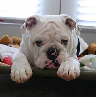 sad-face-bulldog
